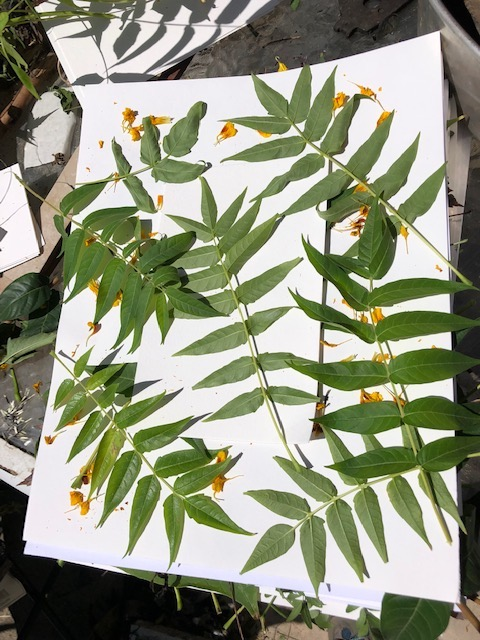 tree of heaven leaves for eco printing