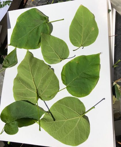catalpa leaves on paper for eco printing