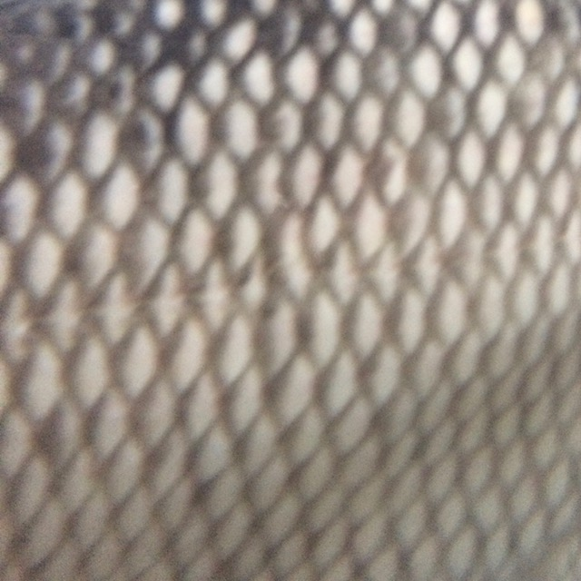 closeup of fish scales to show pattern